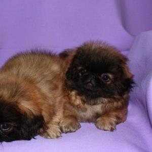 Продаются пекинеса породистые крошечные щенки