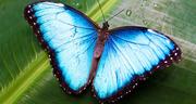 Экзотические Живые Бабочки изЧили